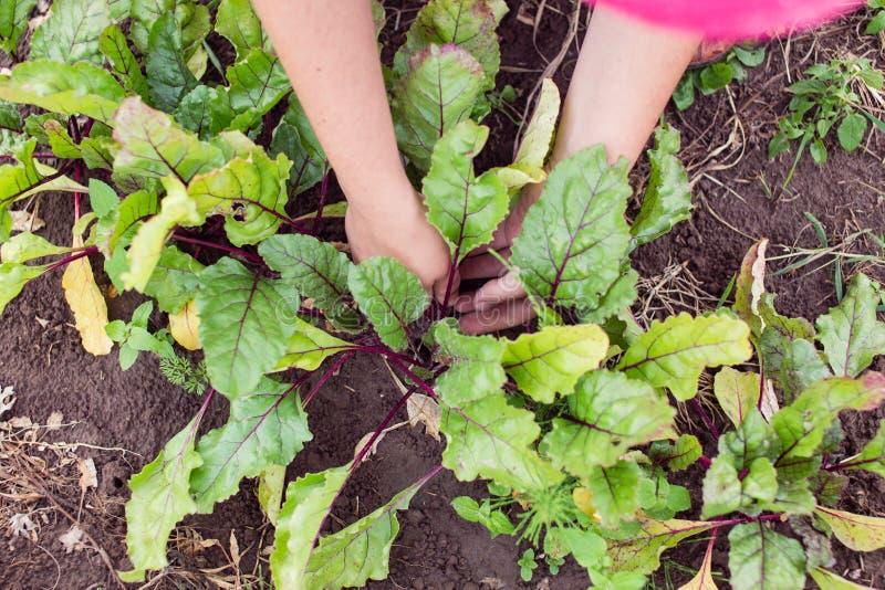 变薄和覆盖树根年轻甜菜根植物的农夫 图库摄影
