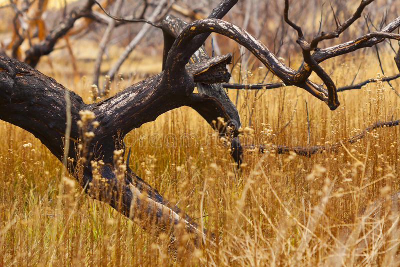 变黑的被烧的结构树 图库摄影