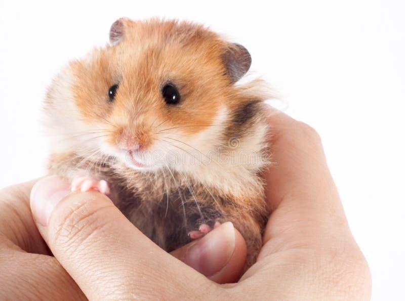 叙利亚仓鼠在人的手上 免版税库存图片