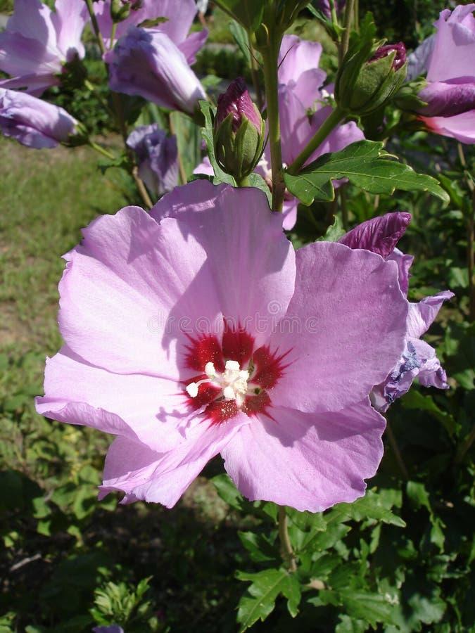 叙利亚ketmia淡粉红与莎朗'Hamabo'花和芽深红中心玫瑰  免版税库存图片