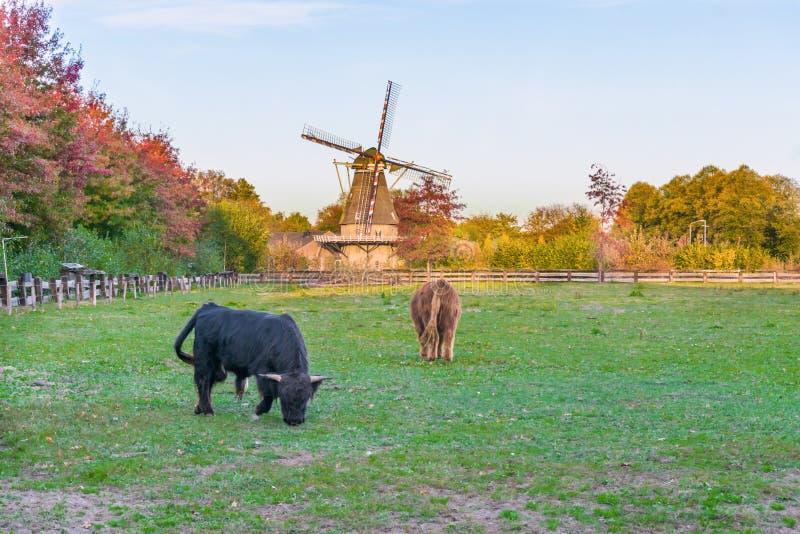 古典荷兰风景,一个绿色牧场地有吃草的高地母牛和风车 免版税库存图片