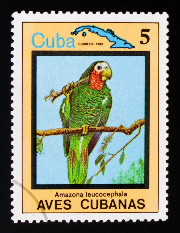 古巴人亚马逊亚马逊leucocephala,地方性鸟,大约1983年 免版税图库摄影