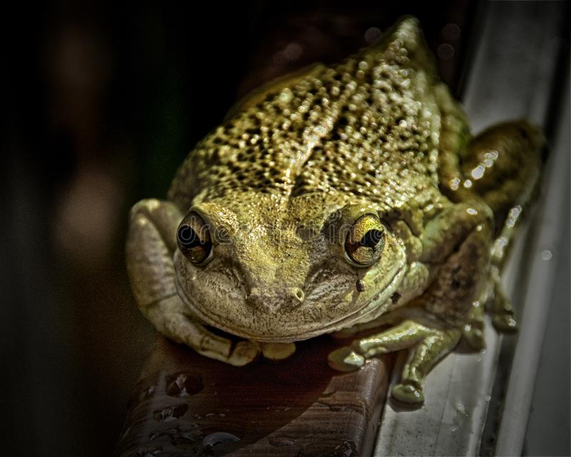 古巴雨蛙关闭 库存图片