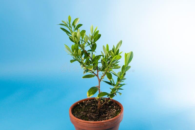 古柯植物,高根属古柯 免版税库存照片