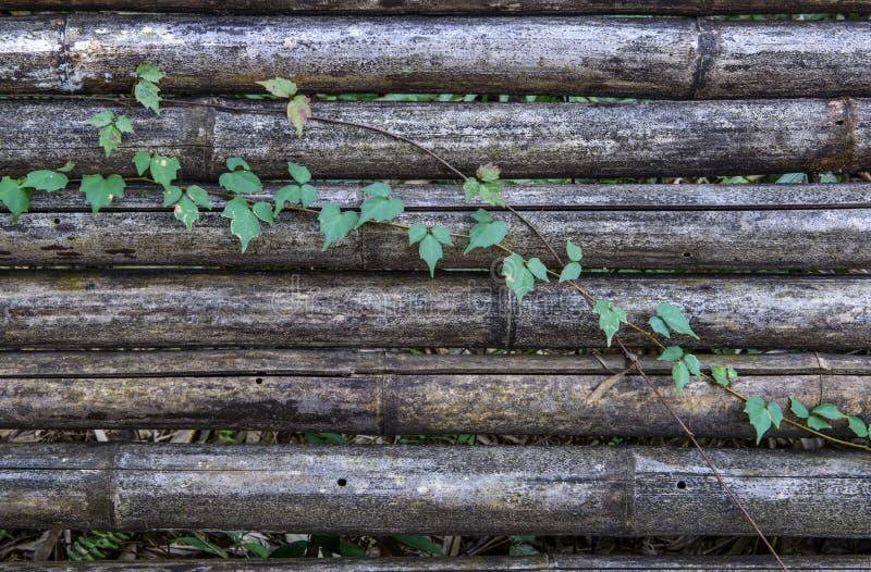 古竹壁上的藤蔓 免版税图库摄影