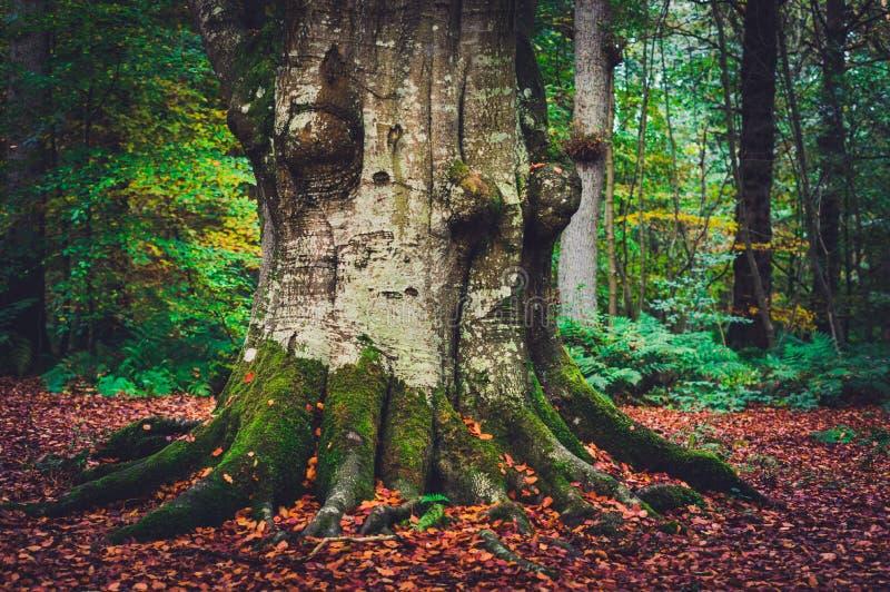古老山毛榉树在森林地 免版税库存图片