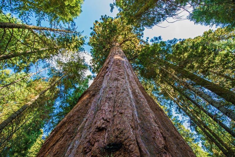 古老巨型美国加州红杉 库存图片
