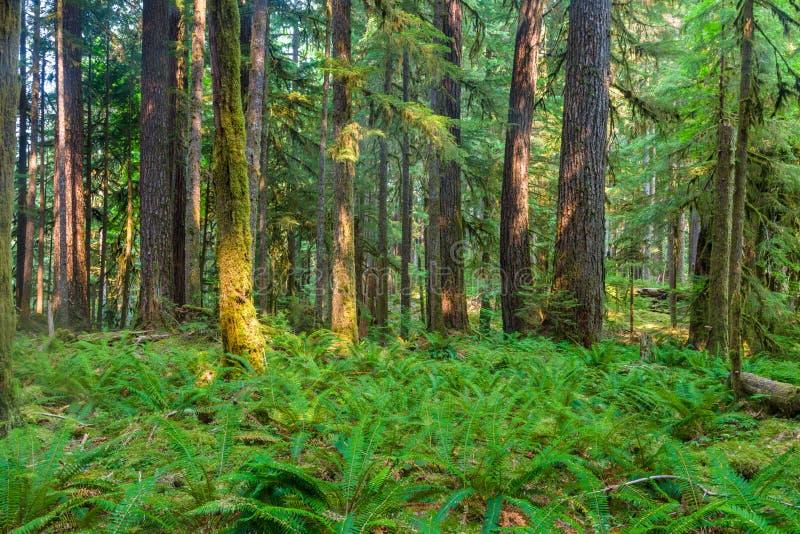 古老树丛自然痕迹在奥林匹克国家公园,华盛顿,美国 免版税库存图片
