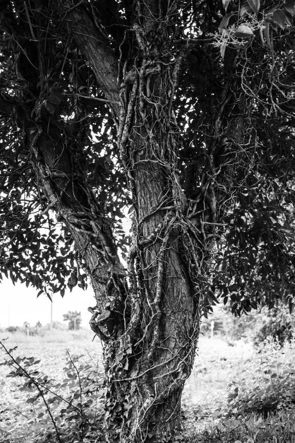 古老树在一个公园在意大利 免版税图库摄影