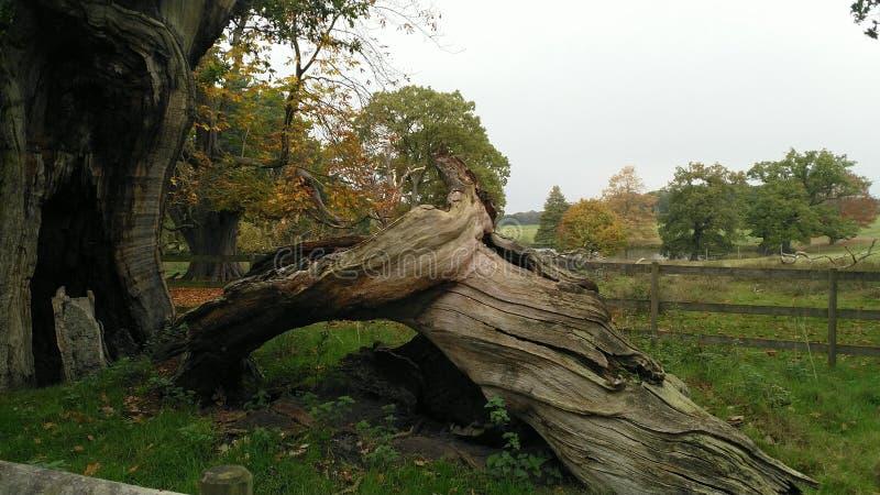 古老树干在塔顿公园 免版税库存图片