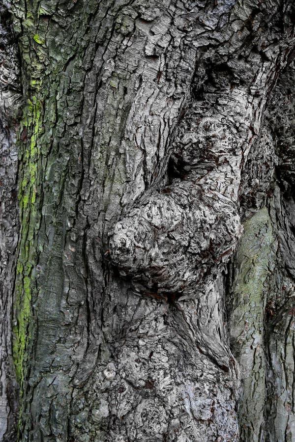 古老树皮纹理  免版税库存照片