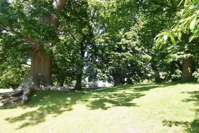 古老栗树在Petworth公园,西萨塞克斯郡,英国,欧洲栗木漂白亚麻纤维树的栗属走 库存图片