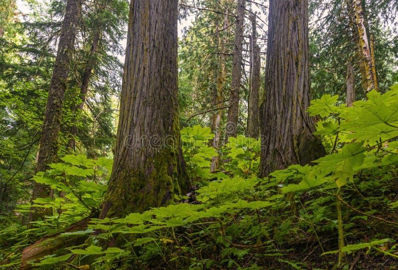 古老森林在不列颠哥伦比亚省,加拿大 图库摄影