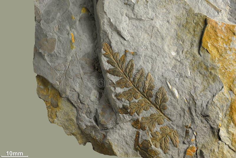 古老植物印刷品  免版税库存图片