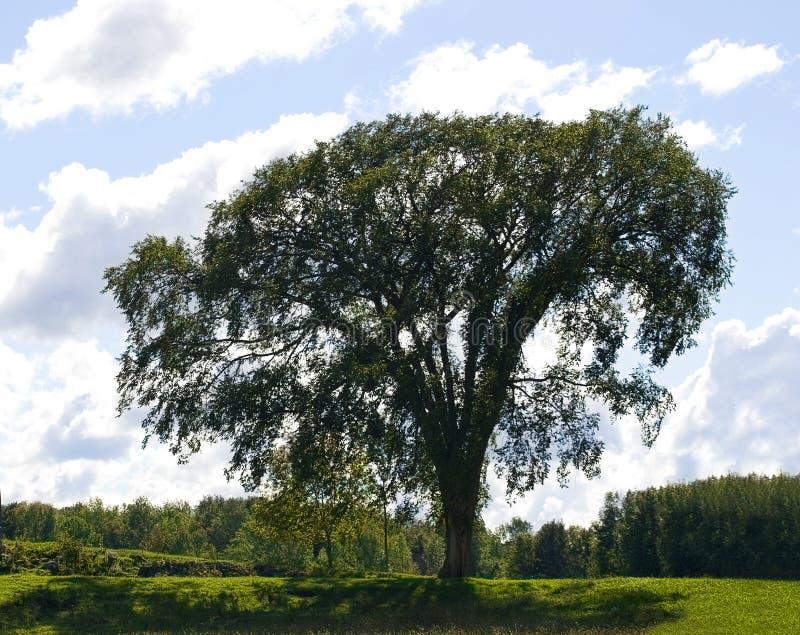 古老榆树 免版税库存照片
