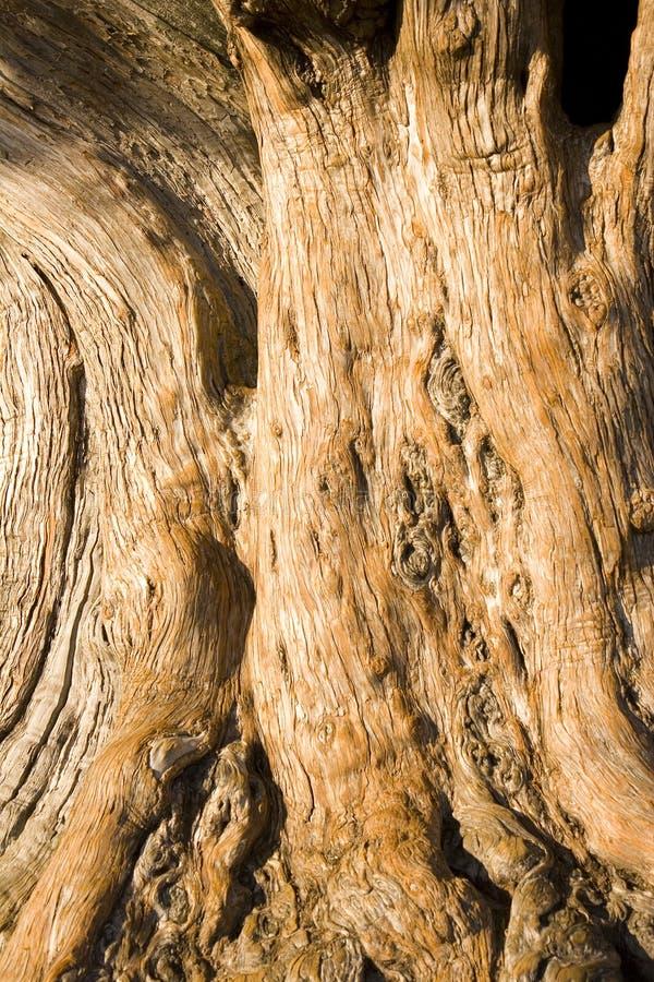 古老橡木 免版税库存图片