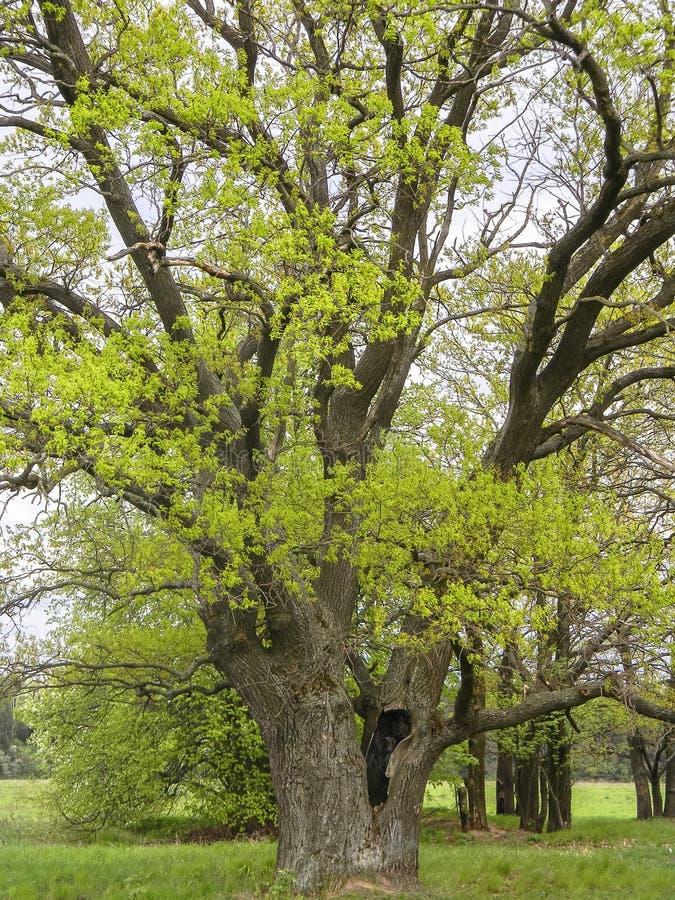 古老橡树在春天多云天 图库摄影