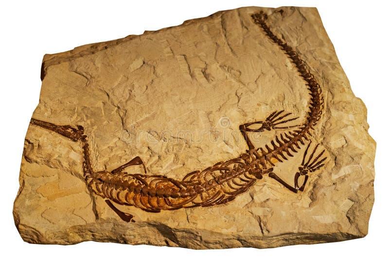 古老爬行动物化石在岩石的 库存照片
