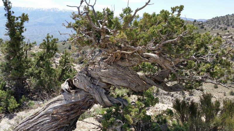 古老的山树 免版税图库摄影