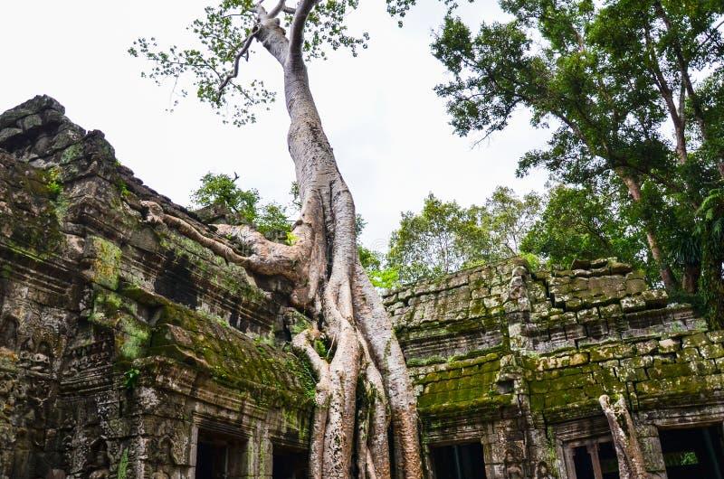 古老石建筑和树根, Ta Prohm寺庙废墟,吴哥,柬埔寨 免版税库存照片