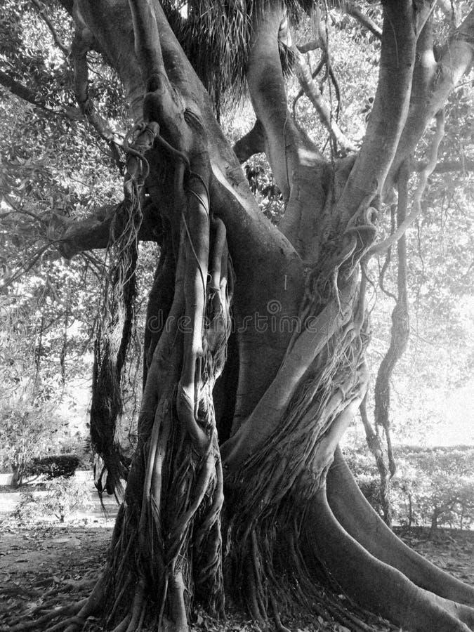 古老老树Black&White西西里岛的siracusa 免版税库存照片