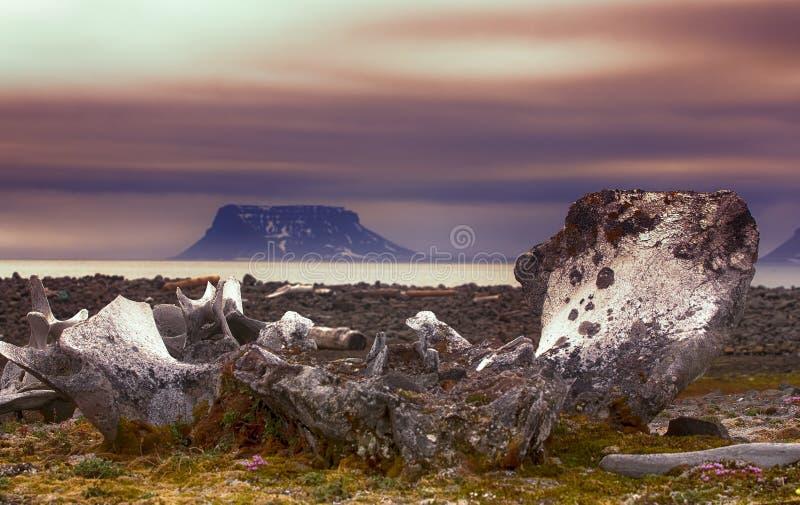 古老鲸鱼的巨大的骨头在古老海洋大阳台的在冰河北极 免版税库存照片