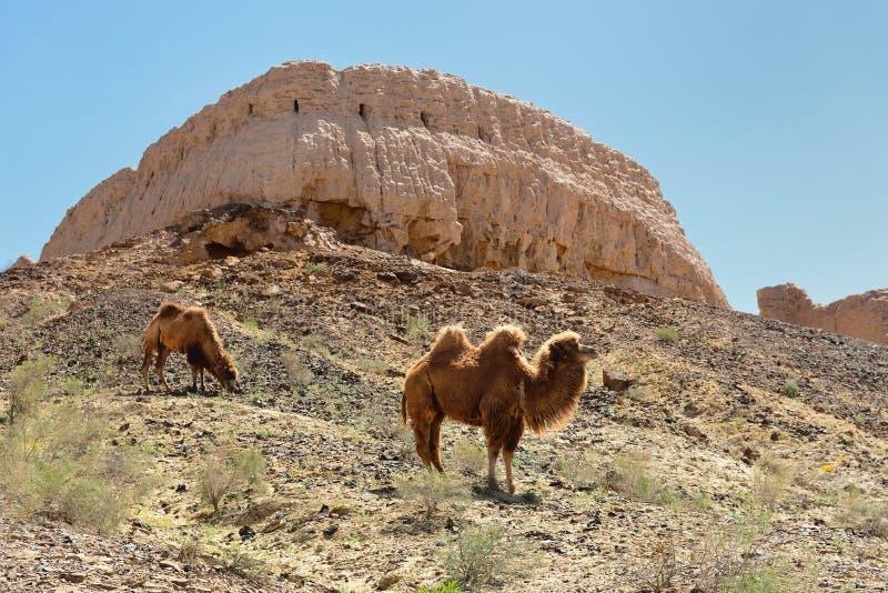 古老Khorezm –Ayaz -卡拉,乌兹别克斯坦最大的废墟城堡  免版税库存图片