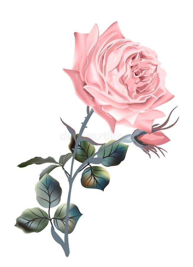 古董高雅风格的美丽矢量粉红英玫瑰 向量例证