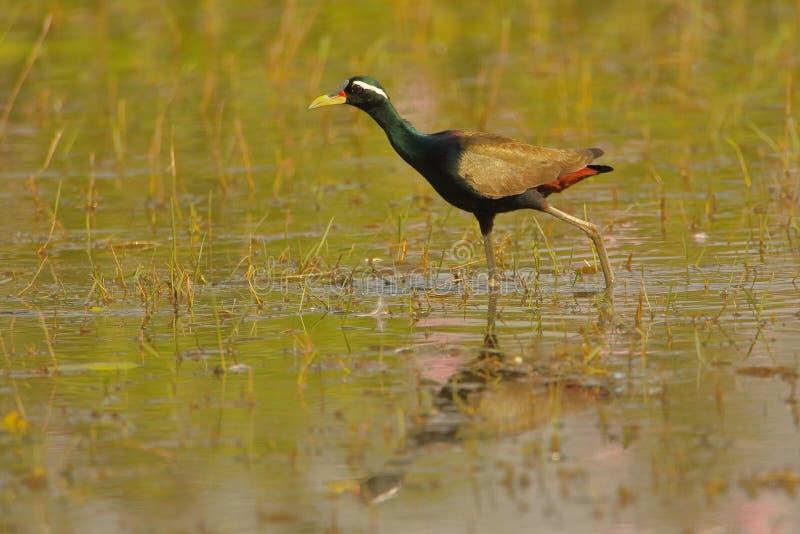 古铜色-飞过的jacana,鸟banswara,拉贾斯坦,印度 免版税库存图片