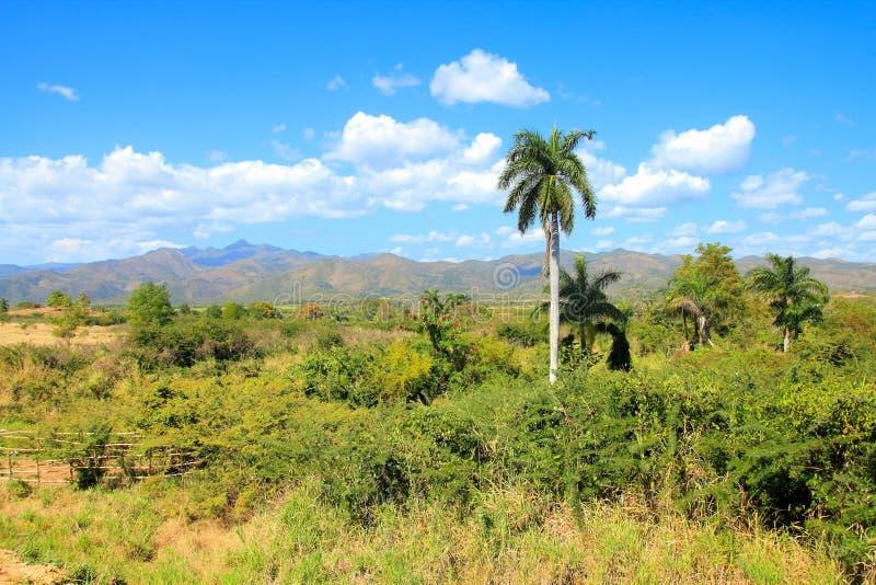 古巴棕榈树 库存图片
