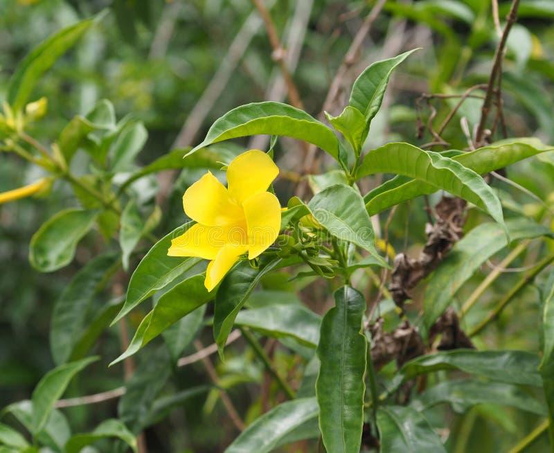 Download 古巴的植被 库存照片. 图片 包括有 黄色, 古巴人, 玻色子, bossies, 工厂, 结构树, 植被 - 72355530