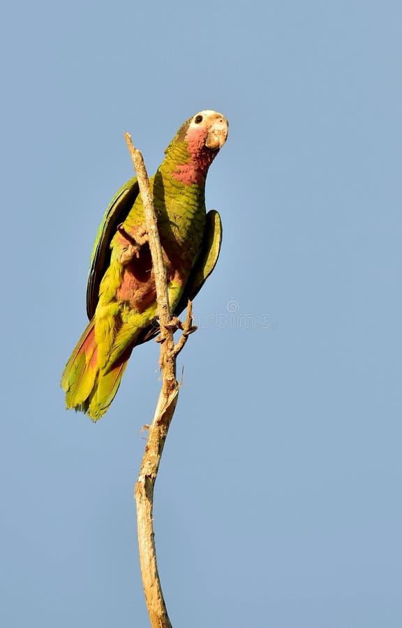 古巴鹦鹉(亚马逊leucocephala leucocephala), 免版税库存图片