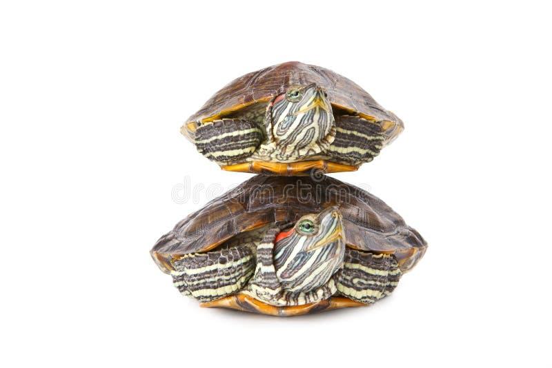 另一水生一个在乌龟二 库存照片