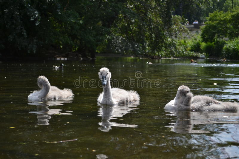 3只小天鹅在池塘 库存照片
