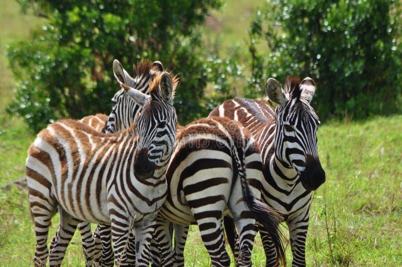 3只斑马站在肯尼亚马赛马拉的阳光明媚的日子 免版税图库摄影