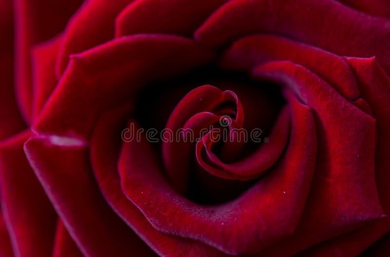 只有红玫瑰宏照片 免版税库存图片