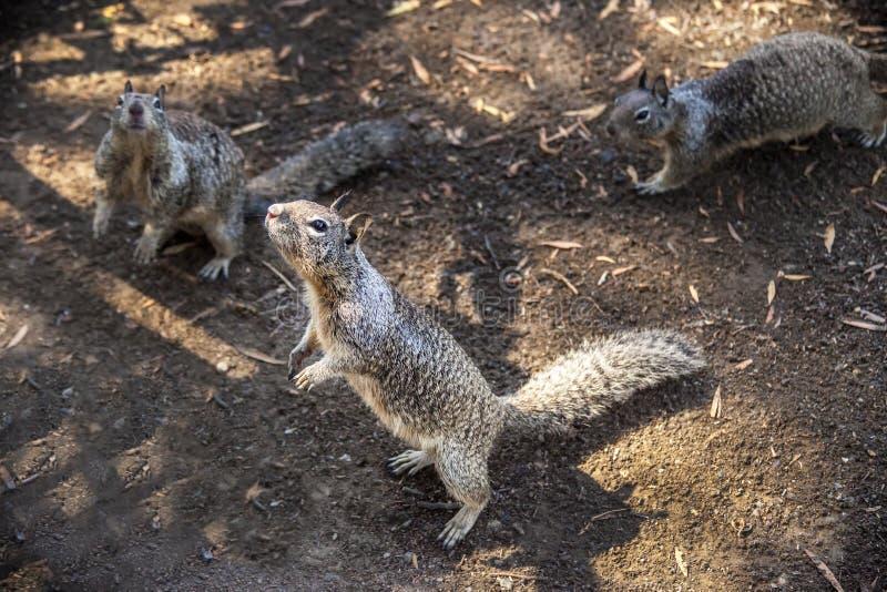 3只灰鼠 免版税库存图片