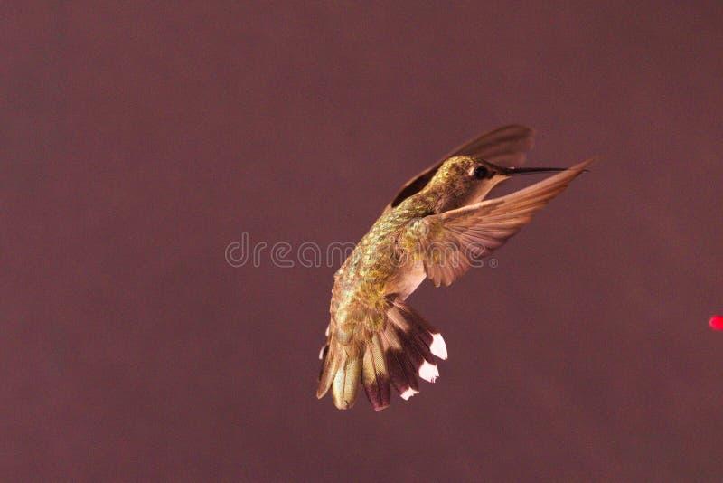 443只蜂鸟女性壮观的外形飞过被清扫的前锋 免版税库存图片