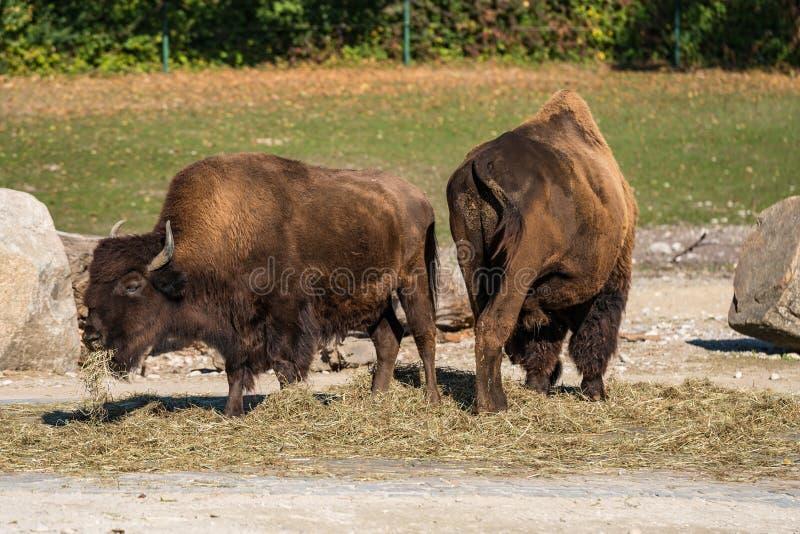 叫作北美野牛的美国水牛,猜错北美野牛在动物园里 库存照片