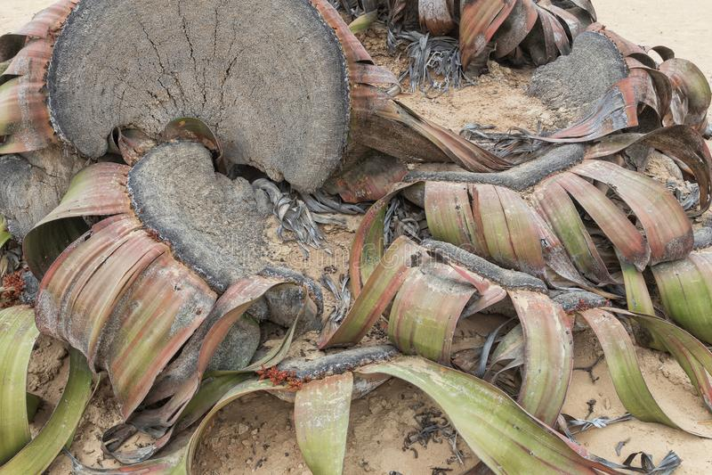 叫作千岁兰健神露的罕见的植物,极为少见被认为一块生存化石 沙漠,非洲,纳米贝省,安哥拉 库存照片