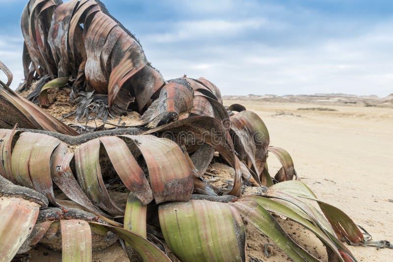 叫作千岁兰健神露的罕见的植物,极为少见被认为一块生存化石 沙漠,非洲,纳米贝省,安哥拉 库存图片