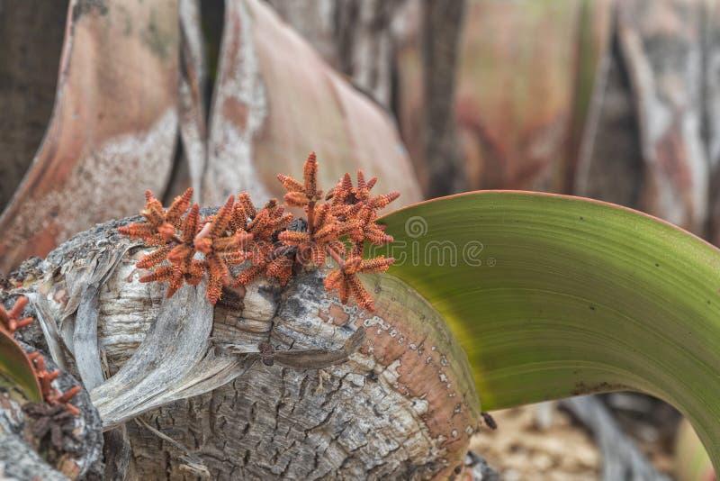 叫作千岁兰健神露的罕见的植物,极为少见被认为一块生存化石 沙漠,非洲,纳米贝省,安哥拉 免版税库存图片