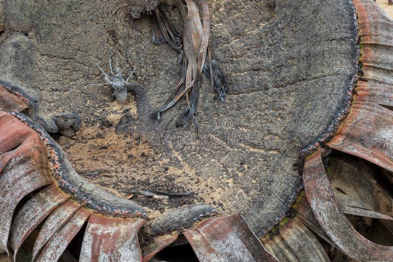 叫作千岁兰健神露的罕见的植物,极为少见被认为一块生存化石 沙漠,非洲,纳米贝省,安哥拉 免版税图库摄影