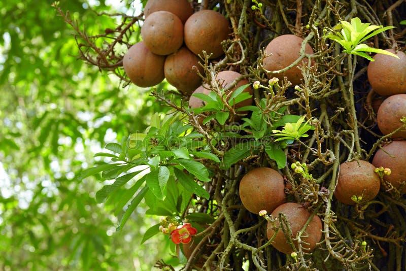 叫作炮弹树的Couroupita guianensis 免版税库存照片
