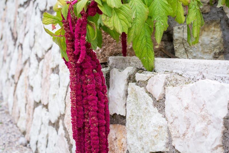 叫作爱说谎流血,鲜苋属Caudatus开花 在街道庭院的红色装饰白苋 库存图片