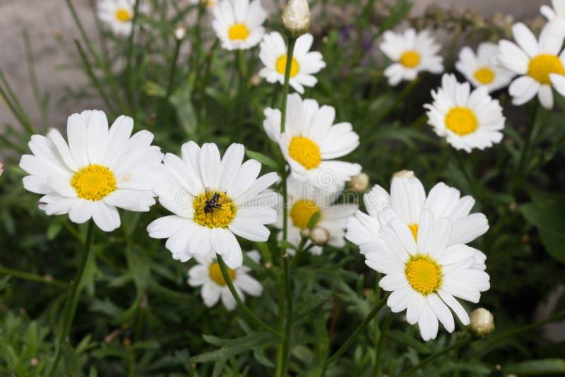 叫作玉米春黄菊、母菊、无气味的春黄菊或者领域春黄菊春黄菊属arvensis与昆虫在焦点 库存图片