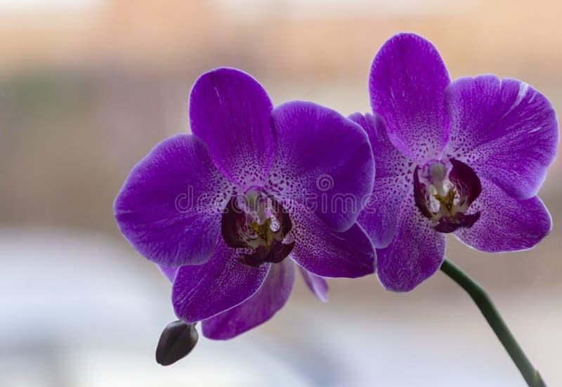 叫作蝴蝶兰的美丽的紫色兰花植物兰花花特写镜头,兰花植物或Phal反对在褐色的光 免版税库存照片
