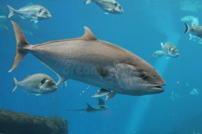 叫作金枪鱼、大西洋金枪鱼& x28的金枪鱼游泳的水中; 金枪鱼类thynnus& x29;北方蓝鳍金枪鱼 图库摄影