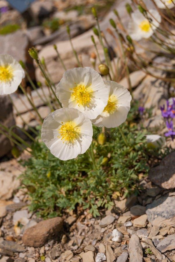 叫作高山鸦片或矮人鸦片的罂粟属alpinum,白色芬芳花卉生长在阿尔卑斯 库存图片