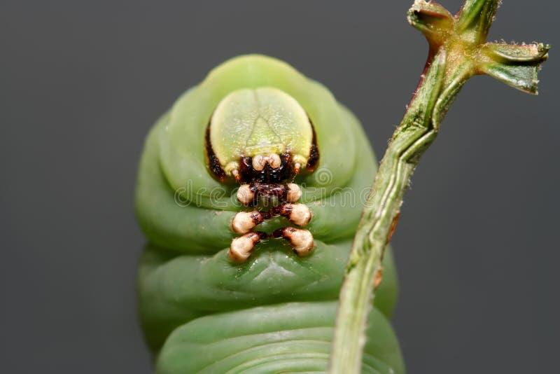 叫作privet天蛾的Caterpillasr蝴蝶 免版税图库摄影
